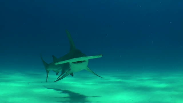vídeos de stock, filmes e b-roll de great hammerhead shark swims towards the camera, bimini, bahamas. - rêmora