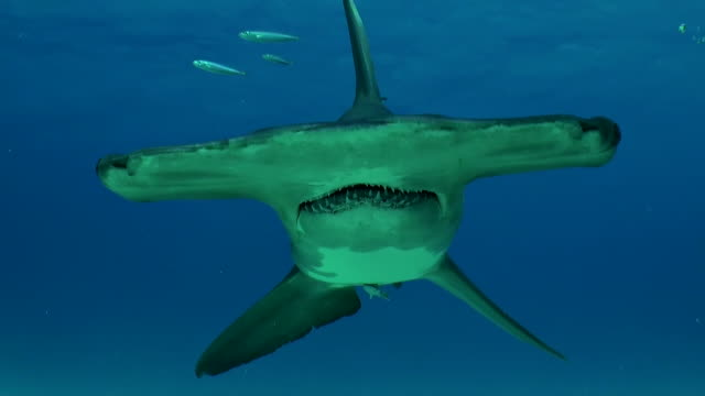 great hammerhead shark swims towards the camera, bimini, bahamas. - shark stock videos & royalty-free footage