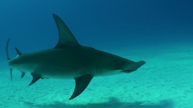 stockvideo's en b-roll-footage met great hammerhead shark swims towards the camera, bimini, bahamas. - bimini