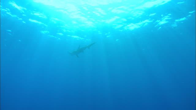 Great hammerhead, Sphyrna mokarran, at surface, Bahamas