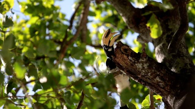 Great Hornbill bird