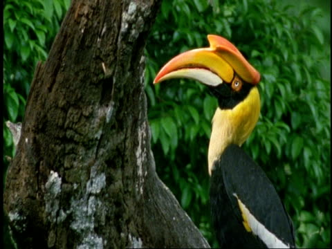 CU Great Hornbill, Buceros bicornis, head and bill, side view, Western Ghats, India