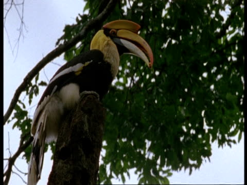 MS Great Hornbill, Buceros bicornis, in tree, Western Ghats, India
