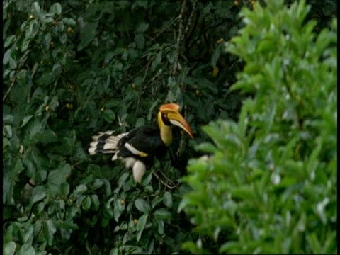 MS Great Hornbill, Buceros bicornis, perching in tree, flies off, Western Ghats, India