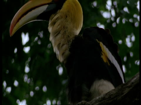 vidéos et rushes de cu great hornbill, buceros bicornis, preening in tree, western ghats, india - se lisser les plumes