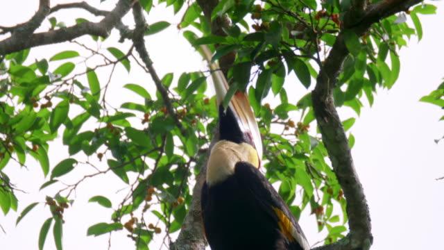 Great Hornbill (Buceros bicornis) eating figs in Sumatra Island, Indonesia