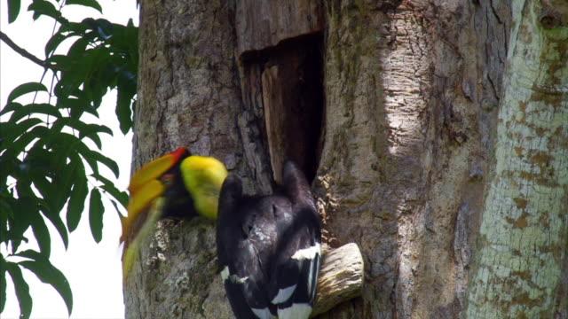 Great Hornbill (Buceros bicornis) feeding its babies in Sumatra Island, Indonesia