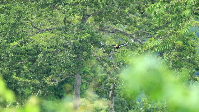 Great hornbill flying in the forest, slow motion