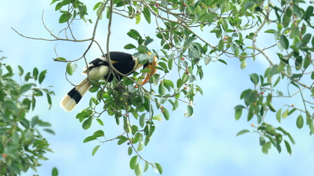 great hornbill on the tree in the forest - biggest stock videos & royalty-free footage