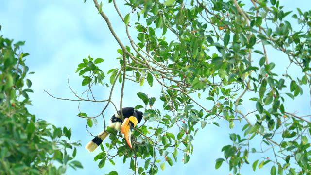 vídeos de stock e filmes b-roll de great hornbill on the tree in the forest - maior