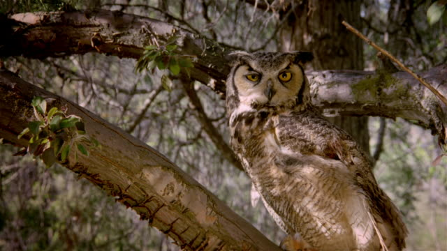 Great horned owl [Bubo virginianus] perched in tree gazing at camera / looking away / Snake River Birds of Prey National Conservation Area, Idaho