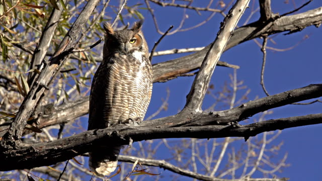 great horned owl close up willow tree littleton colorado - claw stock videos & royalty-free footage