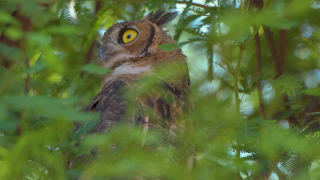 great horned owl in a mesquite tree in arizona - bird of prey stock videos & royalty-free footage