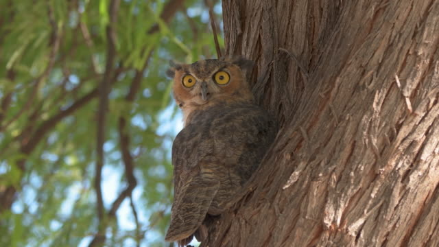 great horned owl in a mesquite tree in arizona - sonoran desert stock videos & royalty-free footage