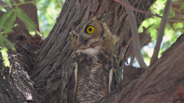vídeos y material grabado en eventos de stock de gran búho cuerno en un árbol mesquite en arizona - camouflage