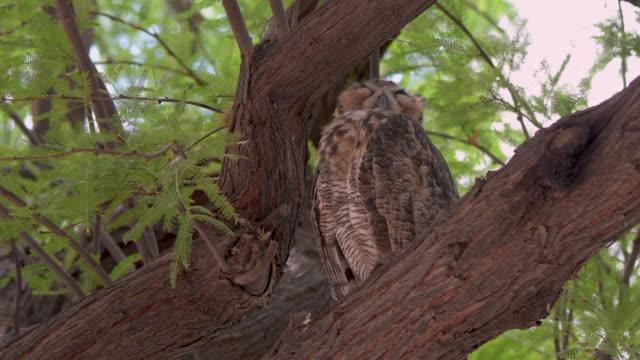 great horned owl sleeping in a mesquite tree in arizona - sonoran desert stock videos & royalty-free footage