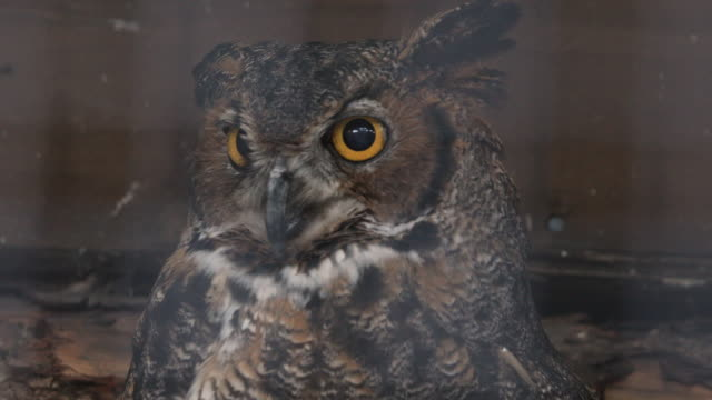 vídeos de stock e filmes b-roll de great horned owl slowly turning head - olho de animal