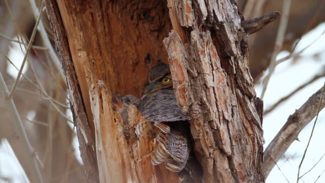 CU Great horned owl with chick in nest / Boulder, Colorado, United States