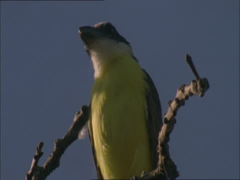 stockvideo's en b-roll-footage met a great kiskadee perches on a branch while it surveys its surroundings. - plant attribute