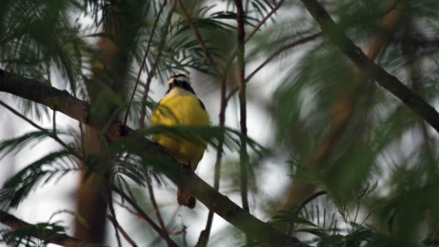 great kiskadee perching in tree - perching stock videos & royalty-free footage
