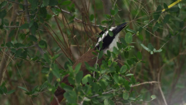 great kiskadee perching on branch and holding twig in beak - twig stock videos & royalty-free footage