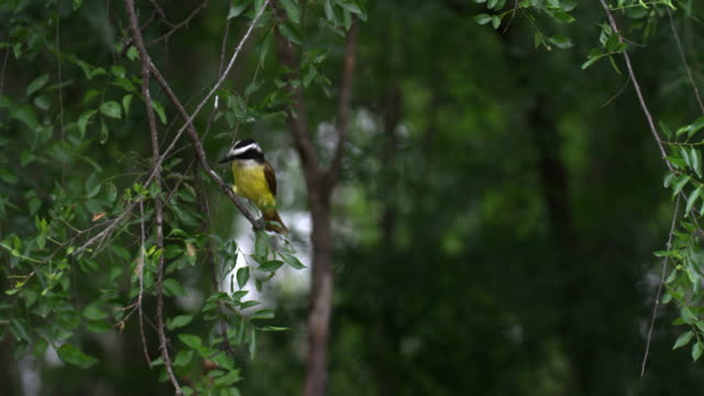 great kiskadee perching on twig - twig stock videos & royalty-free footage