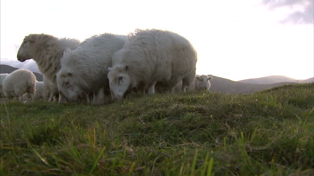 Great low angle shots of sheep grazing on hillsideLlanfairfechan is a town and community in the Conwy County Borough Wales It lies on the north coast...