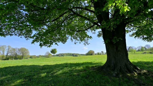 vídeos y material grabado en eventos de stock de great maple tree on meadow in spring, vogelsberg district, hesse, germany - arce