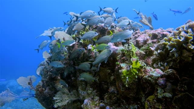 great maya reef scuba diving in caribbean sea near akumal bay - riviera maya / cozumel , quintana roo , mexico - mayan riviera stock videos & royalty-free footage