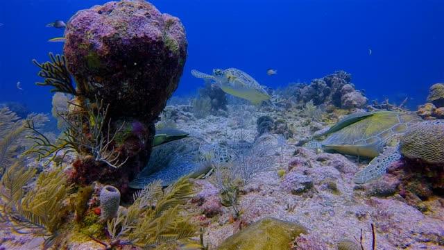 great maya reef scuba diving with green sea turtle and remora fish in caribbean sea near akumal bay - riviera maya / cozumel , quintana roo , mexico - akumal stock videos and b-roll footage