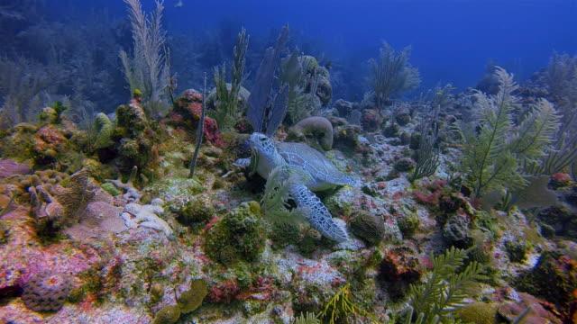 stockvideo's en b-roll-footage met grote maya rif duiken met groene zeeschildpad in de caribische zee in de buurt van akumal bay - riviera maya / cozumel, quintana roo, mexico - soepschildpad
