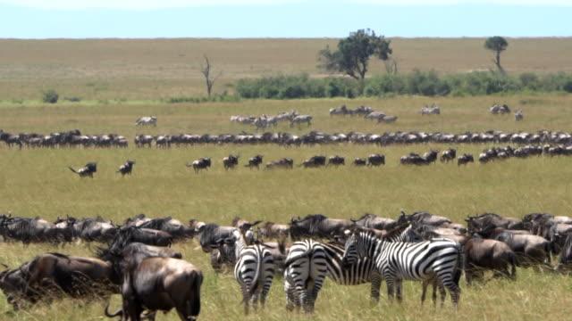 vidéos et rushes de grande migration - groupe d'animaux