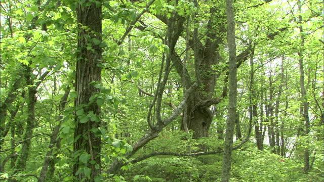 Great oak trees populate the Iwate Woods in Iwate, Japan.