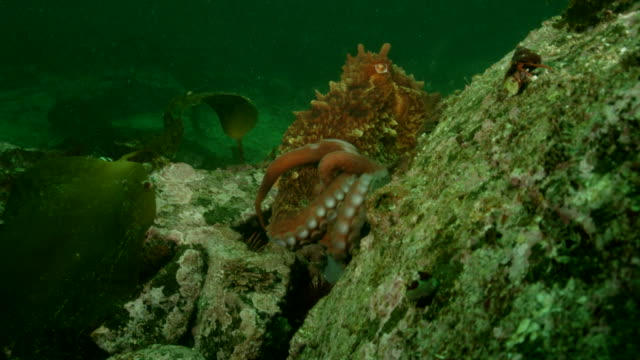 Great pacific octopus climbing rock with wolf eel