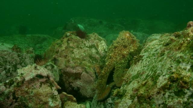 great pacific octopus - pacific ocean点の映像素材/bロール