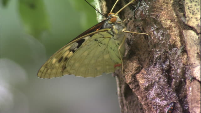A great purple emperor butterfly, a beetle and small flies feed on the sap of a tree.