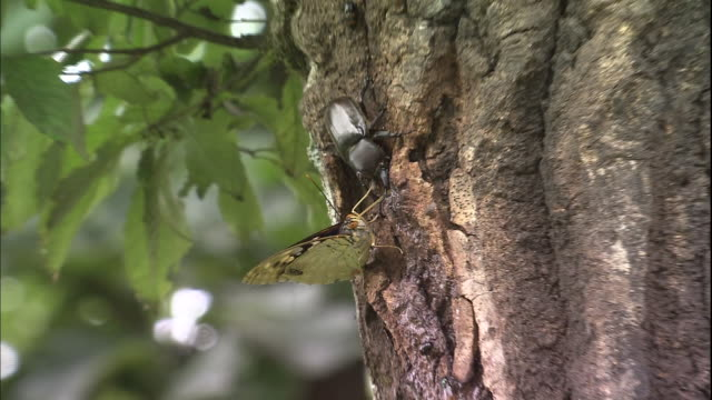A great purple emperor butterfly and a beetle feed on the sap of a tree.