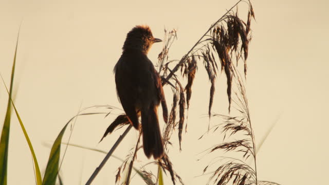 großer rohrsänger (acrocephalus arundinaceus) vogelgesang im juni, weißrussland - tierkörper stock-videos und b-roll-filmmaterial