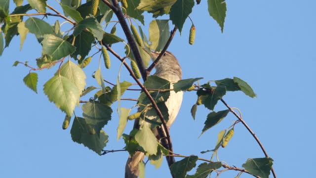 großer rohrsänger (acrocephalus arundinaceus) vogelgesang im juni, weißrussland - tierisches verhalten stock-videos und b-roll-filmmaterial