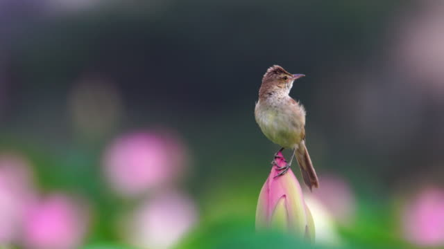 vídeos y material grabado en eventos de stock de great reed warbler on the lotus flower in junam reservoir / changwon-si, gyeongsangnam-do, south korea - posa del loto