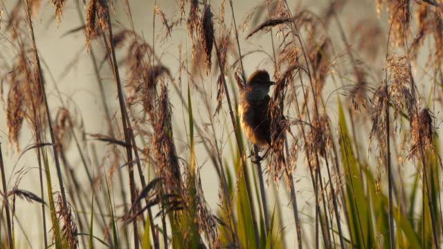 great reed warbler (acrocephalus arundinaceus) sitting on gras near lake - birdsong stock videos & royalty-free footage