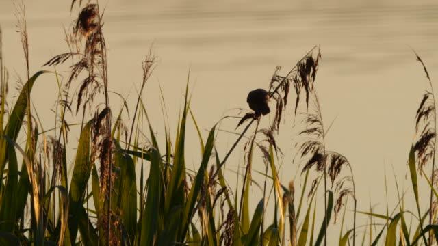 great reed warbler (acrocephalus arundinaceus) sitting on gras near lake - warbler stock videos & royalty-free footage