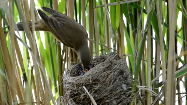 great reed warbler with cuckoo - bird's nest stock videos & royalty-free footage