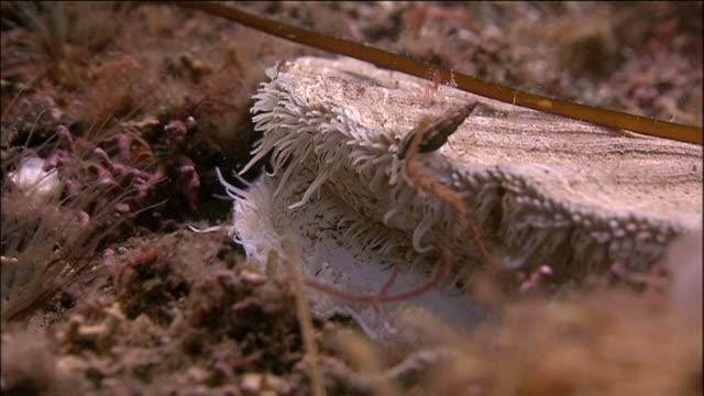 Great scallop (Pecten maximus). Arran. Underwater, North Atlantic