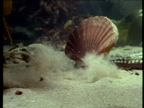 great scallop resting on ocean floor suddenly flaps its valves and takes off in flurry of sand swims off and out of sight - ホタテ点の映像素材/bロール