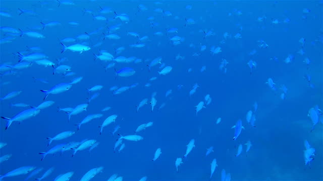 great school of fusilier fish on deep blue ocean - large group of animals stock videos & royalty-free footage