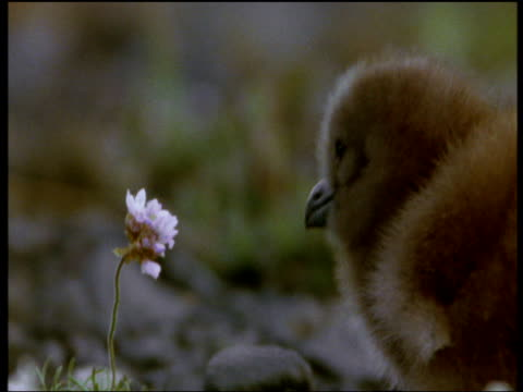 great skua chick tries to eat pink flower by pecking repeatedly, then looks at camera, iceland - animal hair stock videos & royalty-free footage