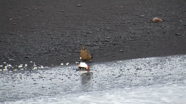 Great Skua Eat A Puffin