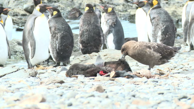 great skua (stercorarius antarctica) feeds on dead fur seal pup (arctocephalus gazella) - red things revealed are seal's scapulas/shoulder blades. cobblers bay, south georgia - seal pup stock videos and b-roll footage