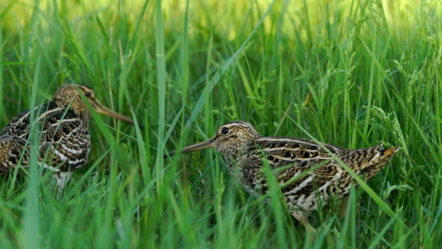 great snipe (gallinago media) - two animals stock videos & royalty-free footage